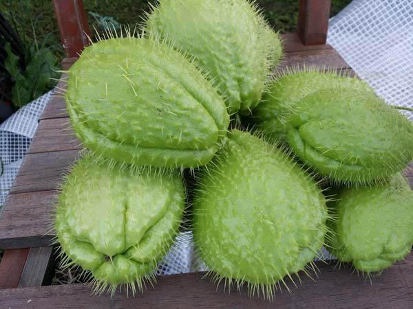 Ricetta Zucchine Spinose In Padella.Le Tecniche Zucchine Spinose Chayote Come Pulirle